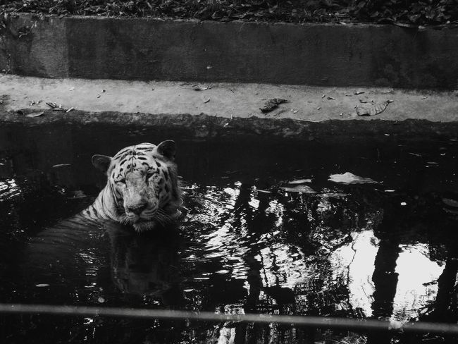 Photography Animals Nature Wildlife Cats Water Leopard Tiger White Tiger Big Cat Carnivora Zoo Wet Animal Markings