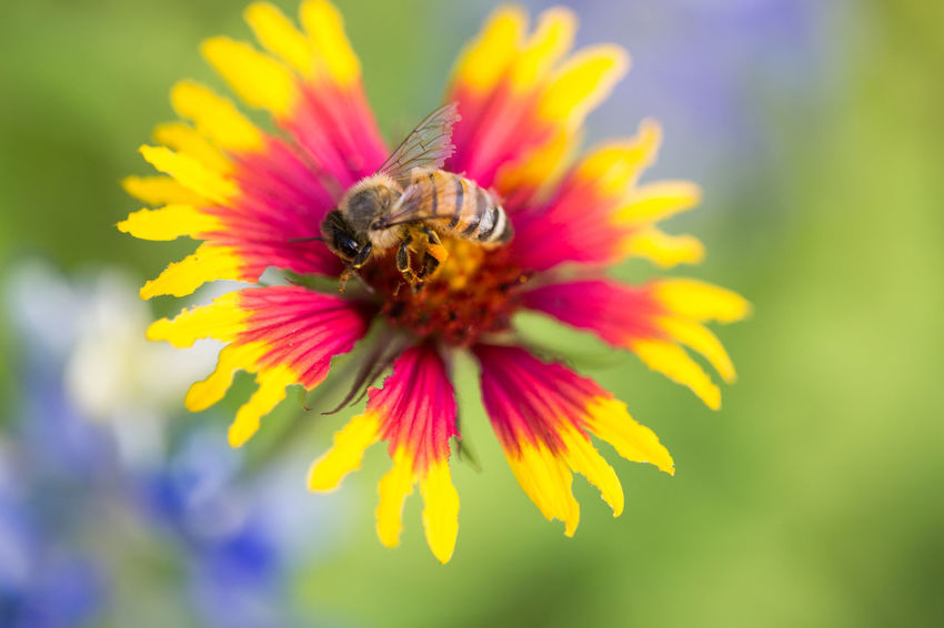 missing spring so here's a photo of a bee on a firewheel Firewheel Indian Blanket Flower Indian Blanket Wildflower Springtime Spring Spring Flowers Bluebonnet Animal Themes Honey Bee Pollen Symbiotic Relationship Bumblebee Buzzing Blooming