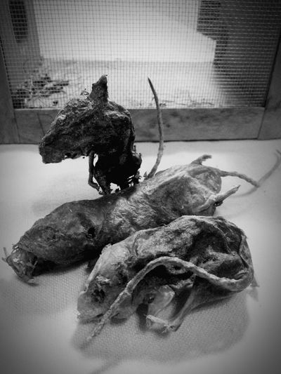 I've named them Athos, Porthos, and Aramis. Mummification Preservation Mice Dead Things Gift Welcome To The Freakshow