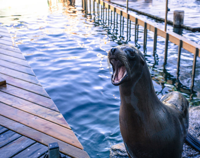 Bergen Norway Animal Animal Head  Animal Themes Day Focus On Foreground Mammal Marine Mouth Open No People One Animal Outdoors Sea Lion Seal Water