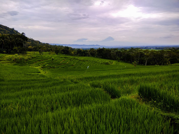 rice plants in the fields #landscape #nature #photography Floral Pattern Food Hotel Room Indonesia Photography  Indoor Photography View Photo Rice Planetary Moon Photography Dramatic Sky Mash - Food State