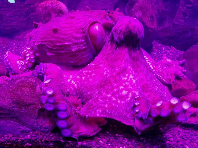 Underwater Animal Themes Purple No People Water Octopus Sea Life Aquarium UnderSea Animal Wildlife Animals In The Wild One Animal Sea Tentacles UnderSea Mosqarium Biology Aquarium Life Violet москвариум Beauty In Nature аквариум осьминог