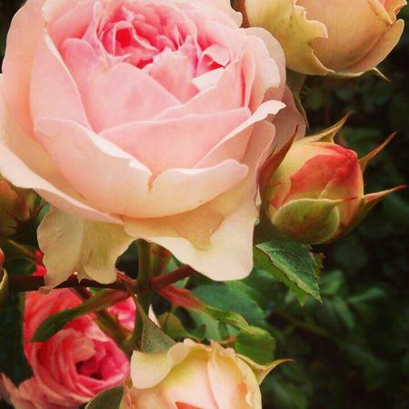 Flowers Roses Delicate Delicate Flowers Garden Secret Garden