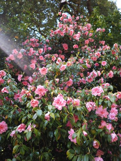 Azalea Pink Flower Pink Flowering Plant Flower Plant Pink Color Beauty In Nature Freshness Fragility Park - Man Made Space Park