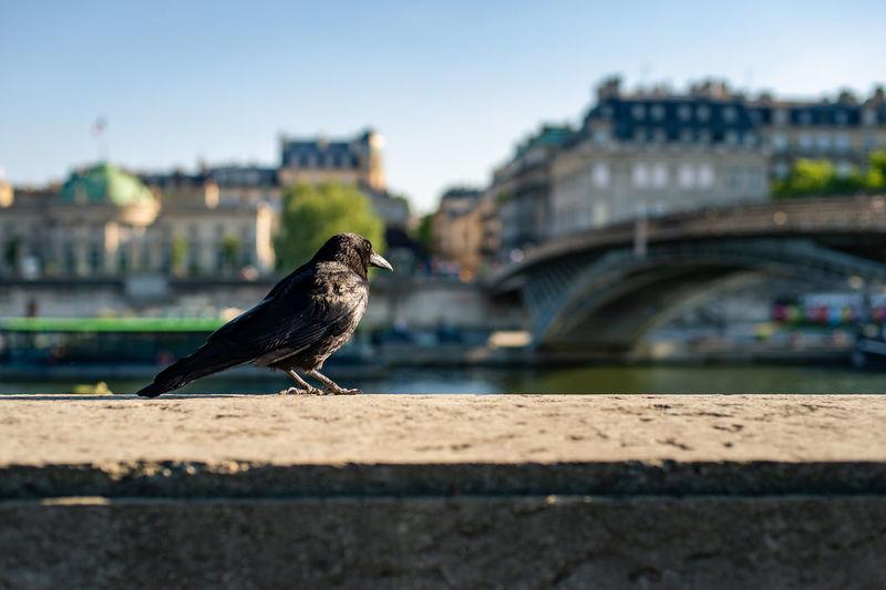 Observation of a raven