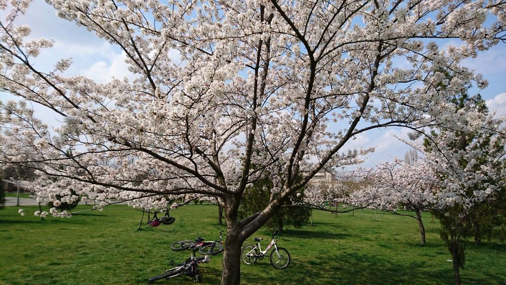 Spring Landscape Landscape With Whitewall Landscape Springtime Spring Blooming Blooming Tree Flower Tree Blooming Trees Urban Spring Fever White Flowers White Tree Bikes