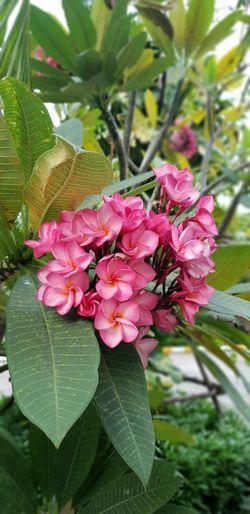 Flower Head Flower Leaf Pink Color Petal Springtime Close-up Plant