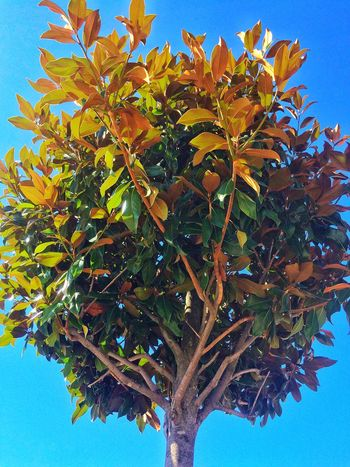 Tree Growth Leaf Nature Low Angle View No People Outdoors Day Beauty In Nature Green Color Clear Sky Sky Blue Branch Plant Freshness Close-up Lost In The Landscape