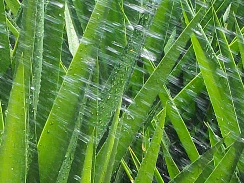 Backgrounds Beauty In Nature Close-up Day Focus On Foreground Full Frame Grass Green Green Color Growth Leaf Long Leaves Lush Foliage Movementphotography Natural Pattern Nature No People Outdoors Plant Pointed Leaves Rain Rain On Leaves Tranquility Water Yucca
