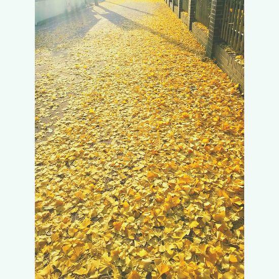 동네 교회가는길 낙엽 가을 작년 은행잎 은행나무 은행 Korea Photos Korea Fallen Leaves