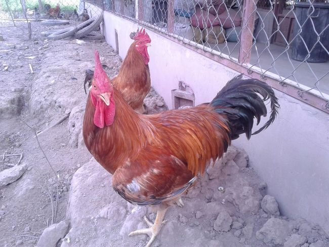 Poultry Animal Animal Themes Animal's Crest Bird Brown Chicken Chicken - Bird Day Domestic Domestic Animals Hmong Hmoob Khaimoua Livestock Male Animal Mammal Nature No People One Animal Outdoors Pets Rooster Vertebrate
