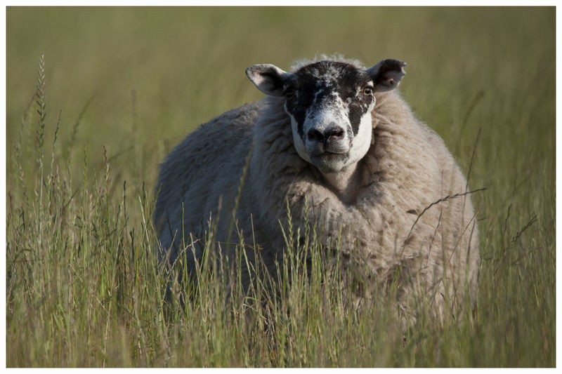 Portrait of sheep on a field