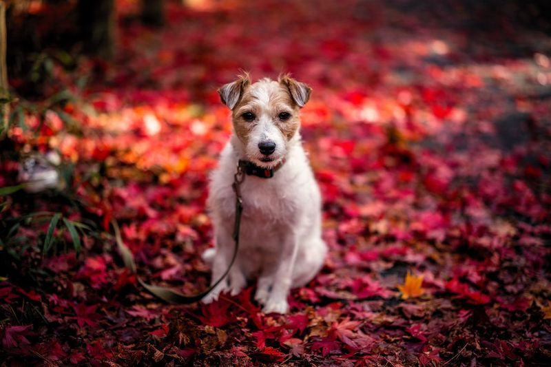 Portrait Of Dog Relaxing On Leaves Covered Field