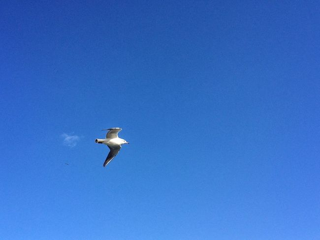Seagull Bird Animals In The Wild One Animal Flying Animal Themes Spread Wings Low Angle View Blue Animal Wildlife Copy Space Clear Sky Mid-air Outdoors White Stork No People Day Nature Sky