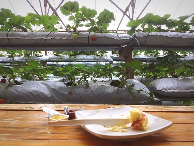 Scone on the table at strawberry farm Strawberry Scone Table Plate Food Food And Drink Ready-to-eat Greenhouse Organic Tea Time Tree Tourism Cameron Highlands Malaysia Western Food Strawberry Farm No People Healthy Eating EyeEm Gallery EyeEmBestPics