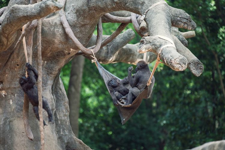 Young gorillas resting in hammock at zoo