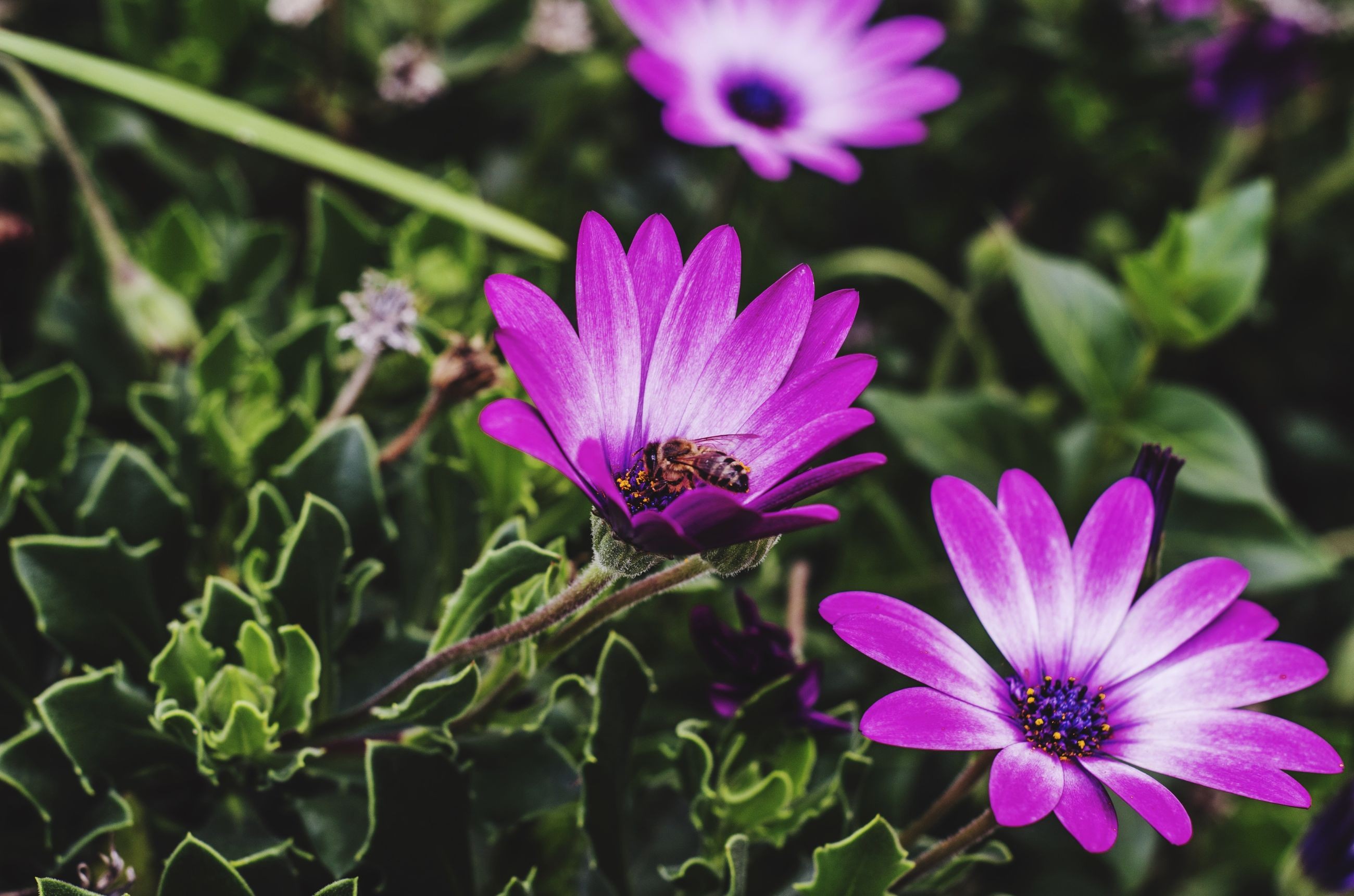 flower, petal, freshness, fragility, purple, flower head, growth, beauty in nature, blooming, close-up, focus on foreground, plant, nature, pollen, in bloom, leaf, stem, outdoors, pink color, day