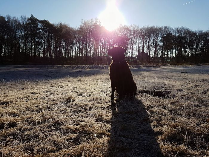 Lens Flare Sunlight Back Lit Silhouette Sun Sunbeam Outdoors Sky Day Pet Dog Nature Labrador PhonePhotography Galaxy S7 Frosty Mornings Sitting Winter Shadow