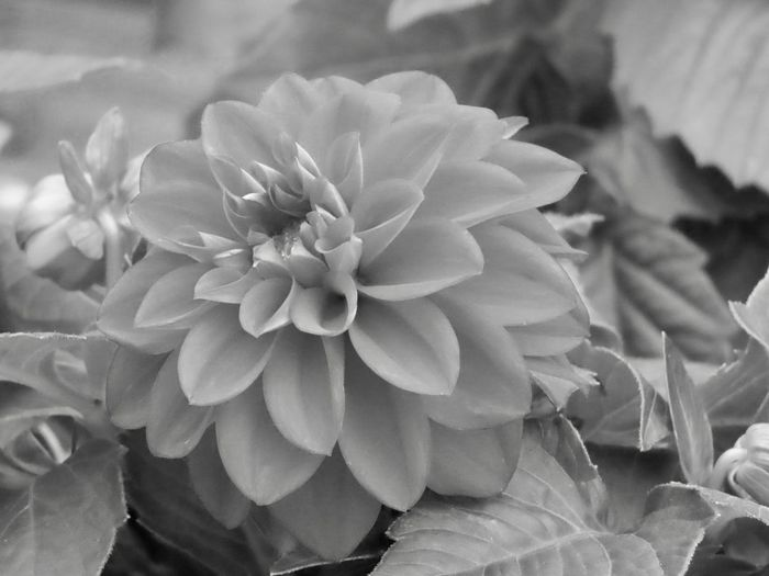 Flowering plant black and white dahlia beauty in nature Flower Growth Freshness Close-up No People