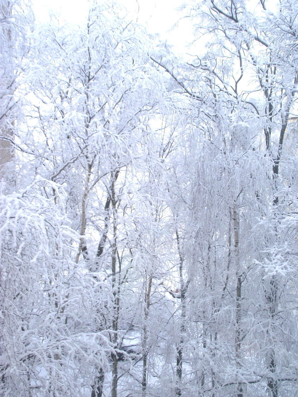 cold temperature, tree, snow, winter, plant, nature, tranquility, white color, no people, frozen, beauty in nature, tranquil scene, day, forest, scenics - nature, environment, snowing, land, bare tree, outdoors, ice, blizzard, extreme weather, purity, icicle