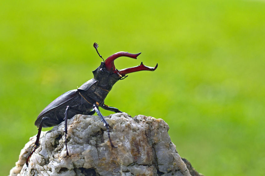le LUCANE ou CERF-VOLANT ! (Lucanus cervus, Coléoptère Lucanidae) Animals In The Wild Beetle Beetle Insect Nature Close-up Coléoptère Day Focus On Foreground Insect No People One Animal Outdoors Perching Rock