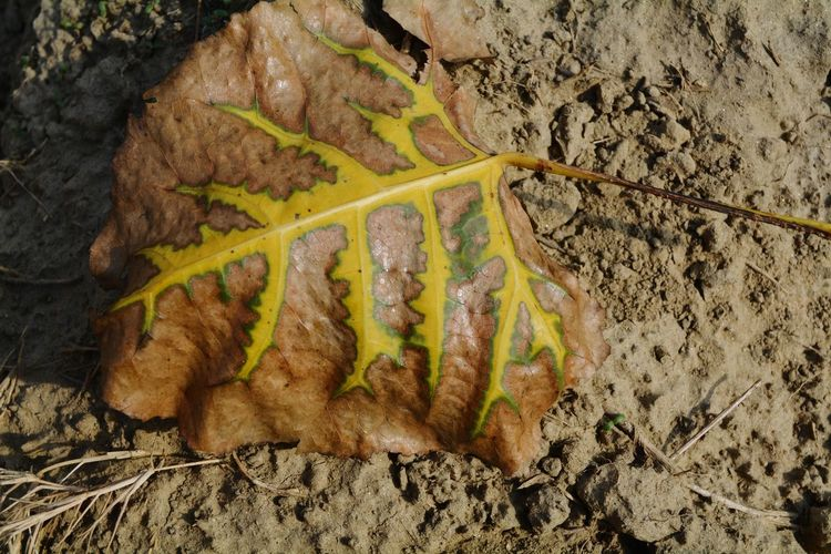 Dry Leaf Veins Photography Dry Leaves - Fresh Nature Art And Nature Just Click Leaf Of Plant Falling Leaves Chexk This Out! Eyem Best Shots Nature_collection Showing Imperfection The Great Outdoors - 2016 EyeEm Awards