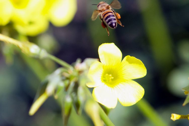 Flying Away Animal Themes Animals In The Wild Beauty In Nature Bee Blooming Buzzing Bye Bye Bee Close-up Day Flower Flower Head Focus On Foreground Fragility Freshness Growth Insect Nature No People One Animal Outdoors Petal Plant Pollination Yellow
