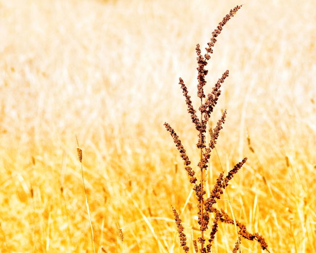 Nature Vibrant Color Plant Rural Scene Field Gold Colored Summer Growth Sunlight Backgrounds No People Outdoors Yellow Beauty Grass Beauty In Nature
