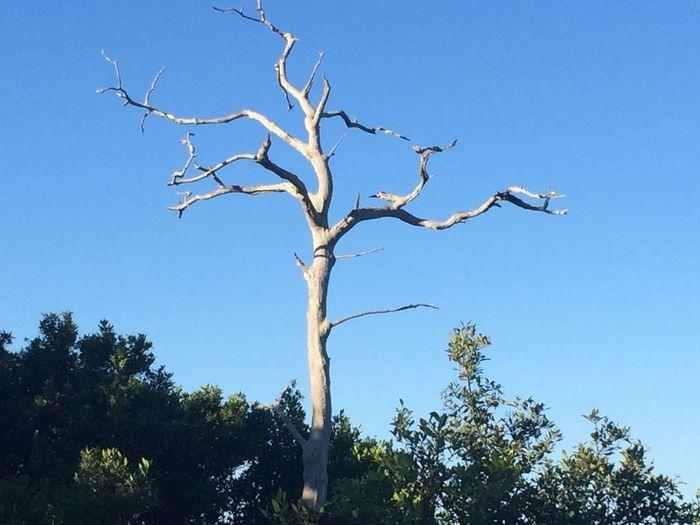 #petrifiedtree Bare Tree Beauty In Nature Blue Sky Clear Sky No People Palm Harbor, FL Petrified Tree Petrified Wood Sky Tranquility Tree Trunk
