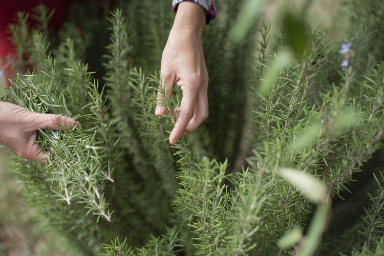Cropped hand touching rosemary
