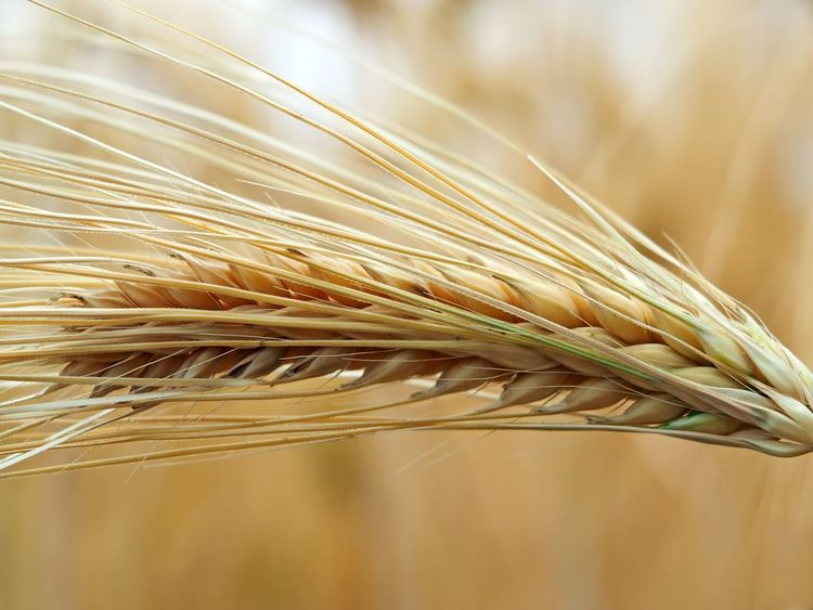 Barley /Gerste Barley Cereal Plant Close-up Crop  Day Focus On Foreground Food Gerste Gerste Grannen Macro Macro Photography Nature No People Plant Wheat Wholegrain Ahre