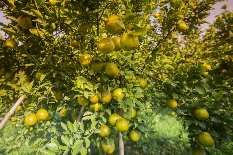 Low Angle View Of Orange Fruits Growing On Tree