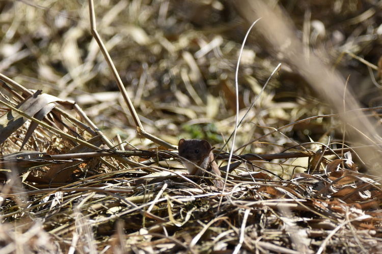 boo! Nature Plant Growth No People Outdoors Day Grass Close-up Field Beauty In Nature Animal Themes Stoat