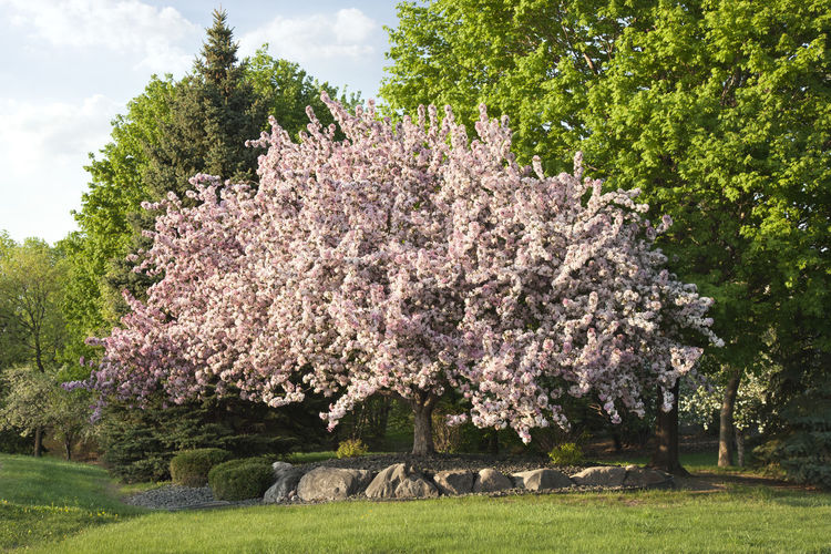 Beautiful flowering crabapple tree in Minnesota MidWest Minnesota Pink Sunlight Tree USA Beauty In Nature Blossom Crabapple Flower Freshness Grass Landscape Landscaping Lawn Nature No People Outdoors Rocks Springtime