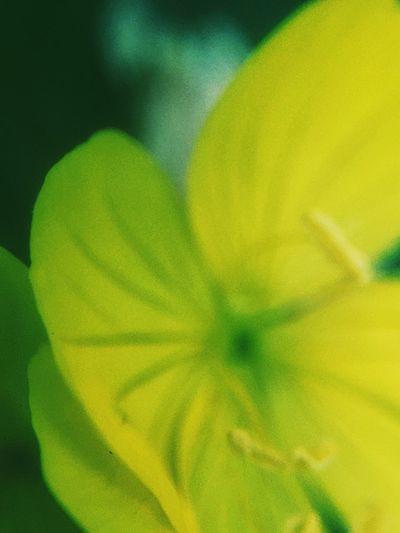 Yellow Yellow Flower Yellow Flowers Flowercloseup Close-up Macro Macro_collection Macro Photography Macro Beauty Macro Nature Olloclip Olloclip_macro Olloclipmacro Olloclip Macro Photography Nature Photography Floralphotography Background Defocus Beautiful VSCO Cam VSCO Vscocam Taking Photos Nature On Your Doorstep Nature