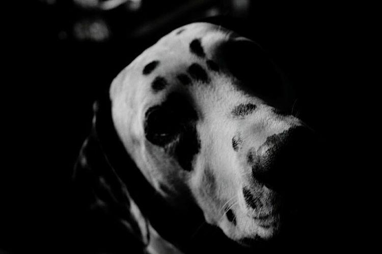 Man's best friend Dalmatian Dog Love Enjoying Life Hello World Taking Photos Blackandwhite