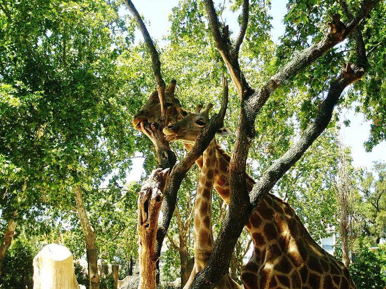 Giraffes sharing their food. Giraffe Giraffes Animals Animal_collection EyeEm Animal Lover EyeEm Best Shots Giraffe♥ EyeEm Nature Lover EyeEmBestPics