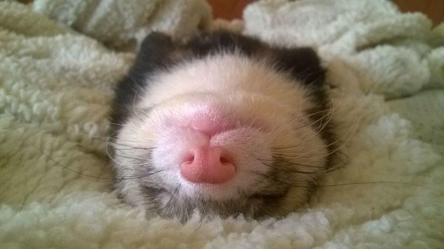 Sleeping Ferret Ferret ❤️❤️❤️
