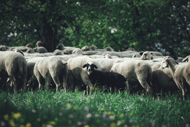 // sheep // Animals In The Wild Country Animal Animal Themes Animal Wildlife Cute Day Domestic Domestic Animals Field Grass Group Of Animals Land Landscape Livestock Mammal Moody Nature No People Plant Sheep Spring Summer Vertebrate Village