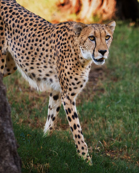 Side view of cheetah standing on field