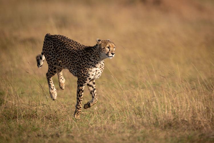 Cheetah Running On Field