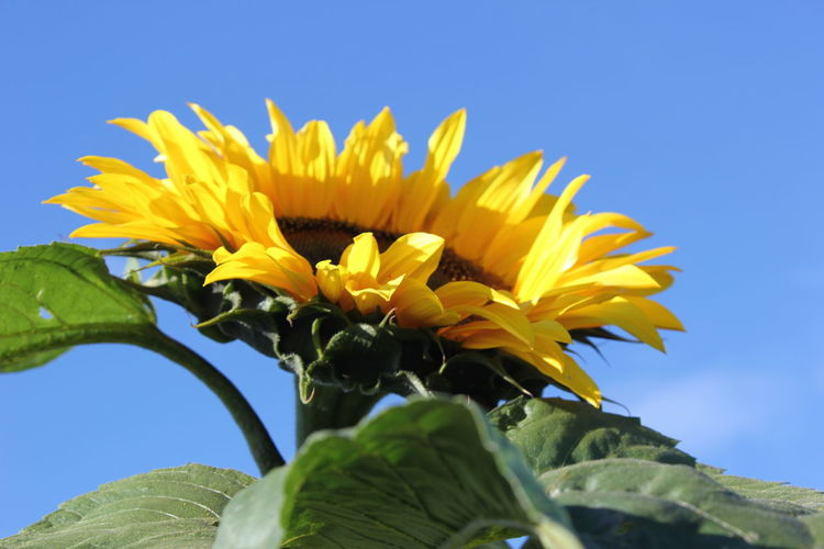 Beauty In Nature Blooming Blue Close-up Flower Flower Head Fragility Freshness Growth In Bloom Leaf Low Angle View Nature Plant Selective Focus Softness Sunflower Yellow Växjö  Sweden