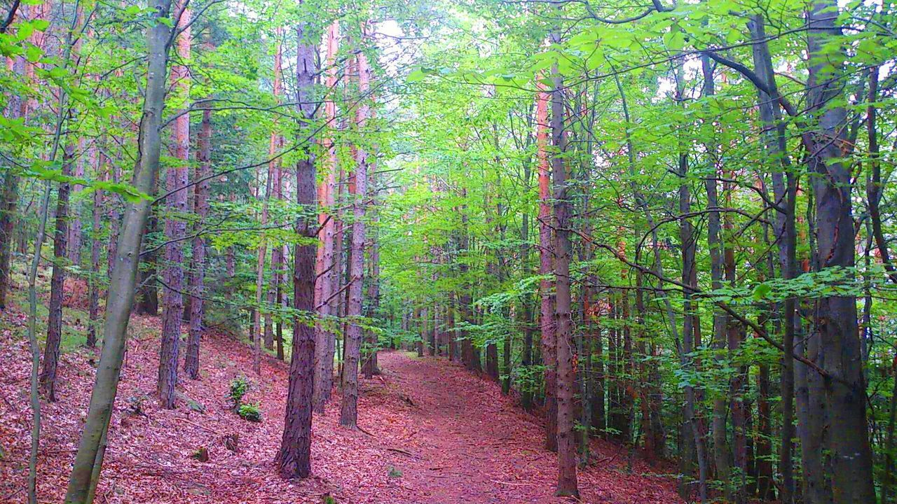 forest, tree, nature, beauty in nature, tree trunk, tranquility, outdoors, landscape, growth, scenics, day, no people, tree area