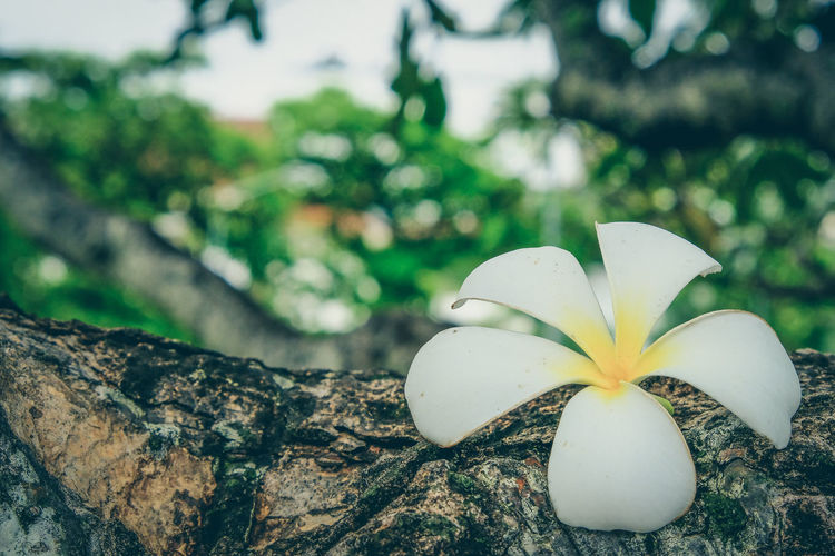 Leelawadee tropical flowers have a soft aroma to relax. Plumeria Background Flowering Plant Focus On Foreground Fragility Frangipani Freshness Outdoors Petal Spa Tree Wallpaper White Flowers ดอกลีลาวดี ดอกลีลาวดี🌼 ดอกไม้สีขาว ผ่อนคลาย リーラワディー 白い花 白花 雞蛋花