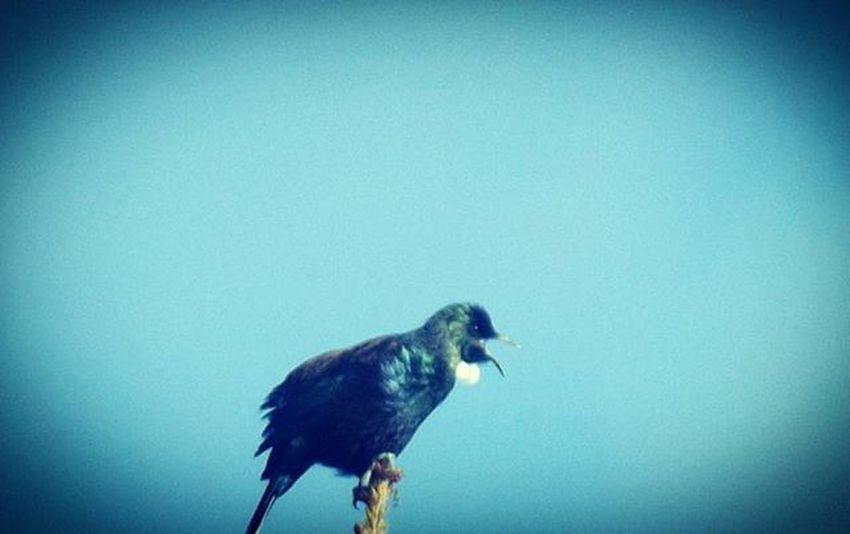 Tui Bellbird Aotearoa NZ Nature Newzealand Bird Blue Birdcall Bbft_lovelybirds Fyp_feathers 9vaga_colorblue9