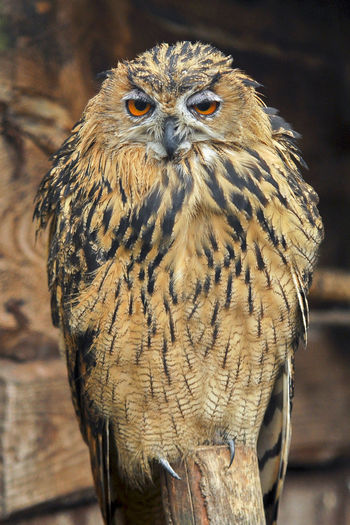 Peal and eye orange Animal Animal Eye Animal Themes Animal Wildlife Animals In The Wild Bird Bird Of Prey Close-up Day Eye Iorange Focus On Foreground Front View Looking At Camera Nature No People One Animal Outdoors Owl Peal Perching Portrait Vertebrate Wood - Material