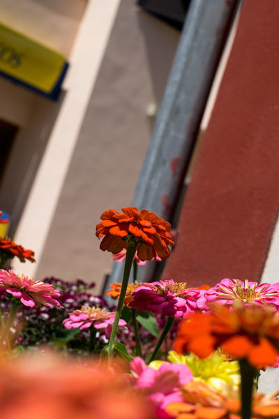 Andratx Beauty In Nature Blooming Close-up Day Flower Flower Head Flowers Fragility Freshness Growth Majorca Mallorca Market Stall Nature No People Outdoors Petal Petunia Plant Red Selective Focus