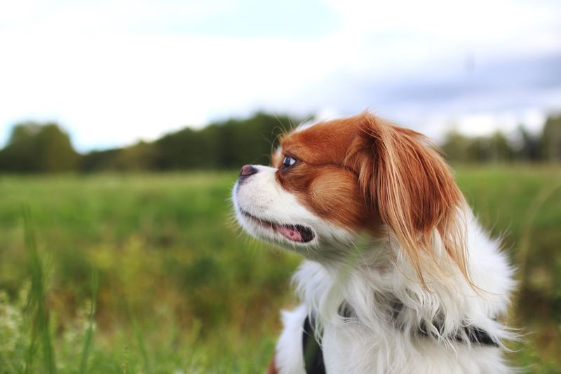 Cavachin Dog Pets Domestic Animals One Animal Animal Themes Mammal Focus On Foreground Field Cavalier King Charles Spaniel Day Outdoors No People Nature Grass Close-up Sky