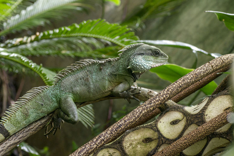 Green iguana in a branch Animal Animal Scale Animal Themes Animal Wildlife Animals In The Wild Branch Close-up Day Focus On Foreground Green Color Iguana Leaf Lizard Nature No People One Animal Outdoors Plant Plant Part Reptile Tree Vertebrate