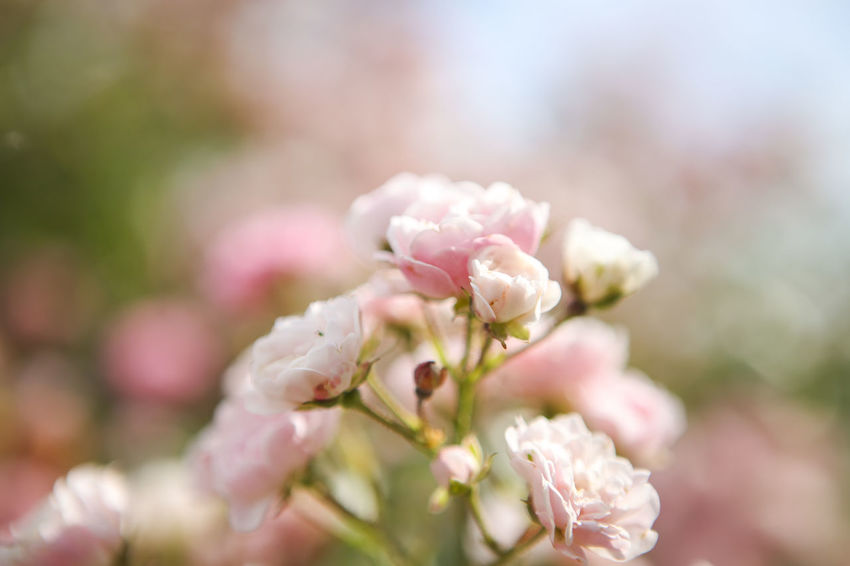 Beauty In Nature Blooming Blossom Botany Bunch Of Flowers Cherry Blossom Close-up Day Flower Flower Head Flowering Plant Focus On Foreground Fragility Freshness Growth In Bloom Nature No People Petal Pink Color Season  Selective Focus Springtime